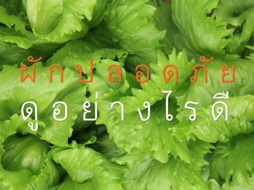 49927971 - green lettuce crops in growth